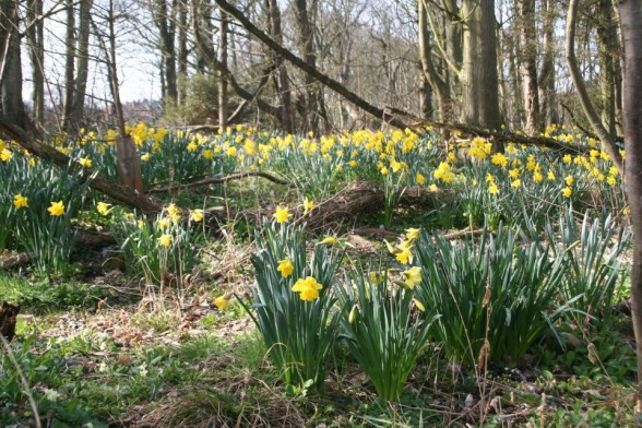 Daffodils, Overstrand, north Norfolk